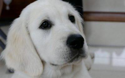 Saumon-solidarité : Offrir un chien d'assistance