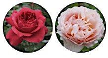 Plante des roses et sauve les abeilles